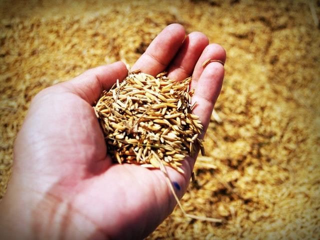 Getreidesaat